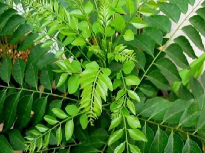 Curry leaves are a boon for black hair | काळ्याभोर केसांसाठी वरदान आहे कढीपत्ता ; असा करा वापर !