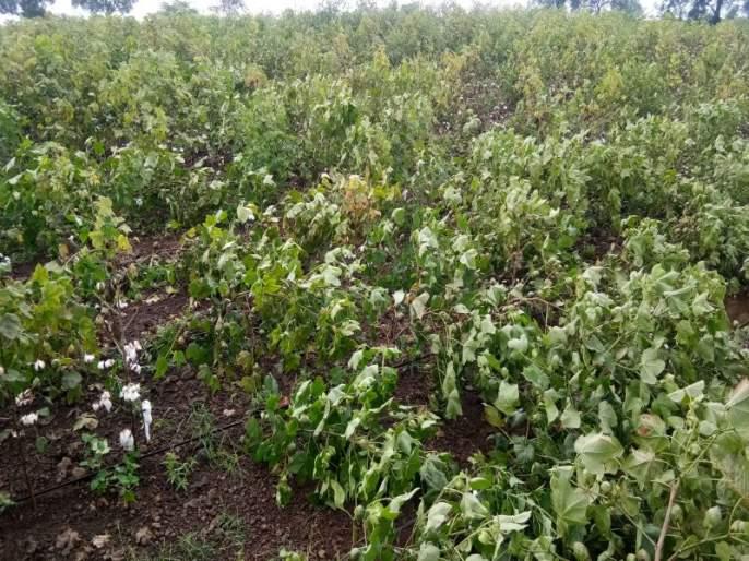 Thyme is a disease of saliva on cotton in Pachora taluka | पाचोरा तालुक्यात कपाशीवर लाल्या रोगाचे थैमान