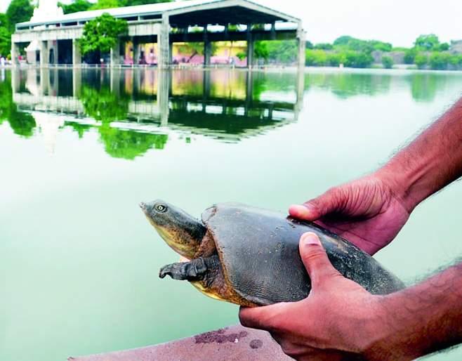 Seeing the water of Siddheshwar lake, the mud turtle jumped and jumped | सिद्धेश्वर तलावाचे पाणी पाहताच चिखल कासवाने धपकन मारली उडी
