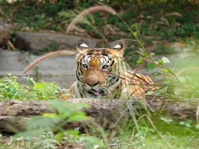The Rajiv Gandhi Zoo Park in Pune is equipped with various solutions Against fight Corona   कोरोनाच्या पार्श्वभूमीवर पुण्यातील राजीव गांधी प्राणीसंग्रहालय विविध उपाययोजनांसह सज्ज