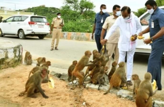 KCR feeds Yadagiri Gutta monkeys with bananas! | केसीआर यांनी यादागिरीगुट्टाच्या माकडांना खाऊ घातली केळी!