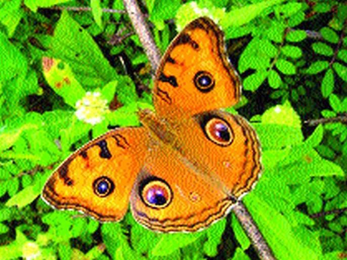 Butterflies known by the name Kuchalpad   मुग्धपंखी, कुचलपाद नावांनी ओळखली जाणार फुलपाखरे