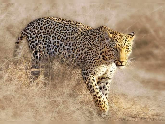 Five held in Kerala for killing leopard and eating its meat | माणूसकी हरवत चाललीय; जाळ्यात अडकलेल्या बिबट्याला शिजवून खाल्लं!