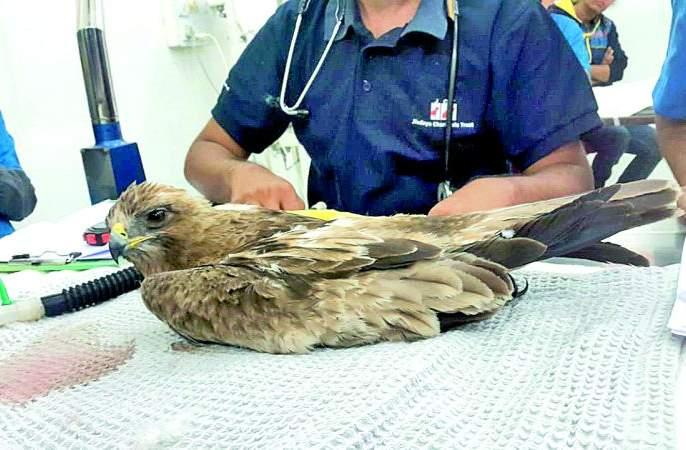Kite-bashing: More than 100 birds become victims by nylon manza in Nagpur | पतंगबाजी : नागपुरात १०० हून अधिक पक्षी नायलॉन मांजाचे बळी