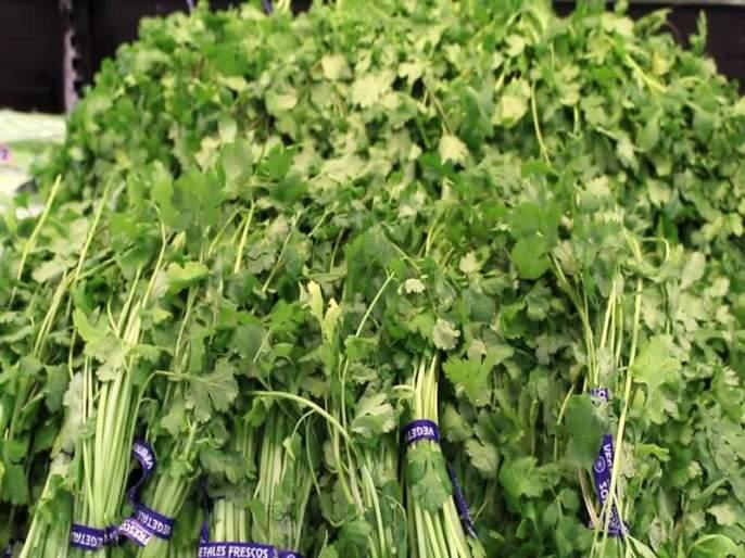 Nashik Agriculture Produce Market Committee: After throwing down prices, farmers threw cilantro   नाशिक कृषी उत्पन्न बाजार समिती : भाव घसरल्याने शेतक-यांनी कोथिंबीर फेकली