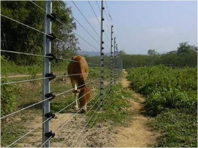 Electricity wires are planned to protect the crops are kills farmer   पिकांच्या बचावासाठी विद्युत तारांचे बेत शेतकऱ्यांच्या जिवावर