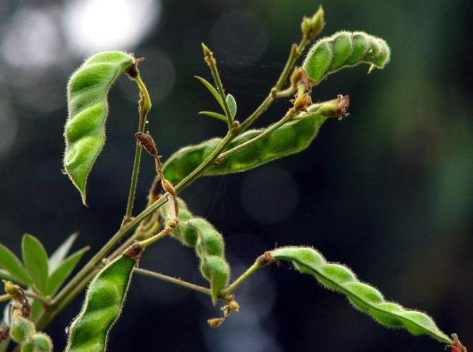 In Wardha district, larvae attack on trumpet while filling crop | वर्धा जिल्ह्यात शेंग भरत असतानाच तुरीवर अळीचा अटॅक