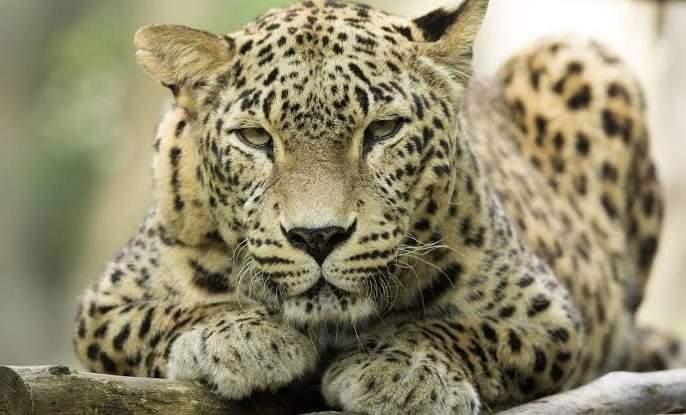 Leaopard found in Shingoli field | शिंगोली शिवारात बिबट्याचा वावर
