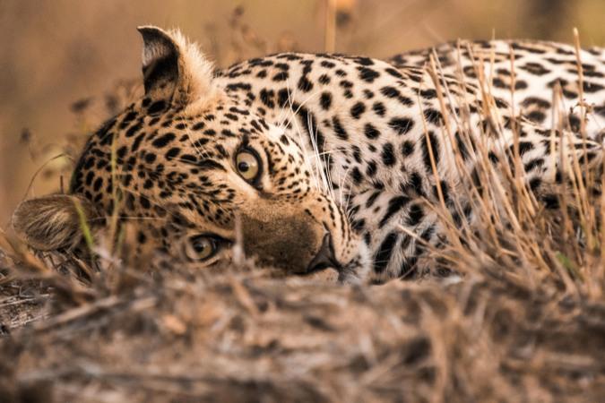 Two-and-a-half-year-old leopard was found, | अडीच वर्षांची बिबट्याची मादी सापडली, वनरक्षकांच्या मदतीनं जेरबंद