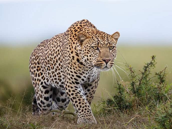 82 leopards died in 6 months in maharashtra | चिंताजनक! राज्यात ६ महिन्यांत ८२ बिबट्यांचा मृत्यू