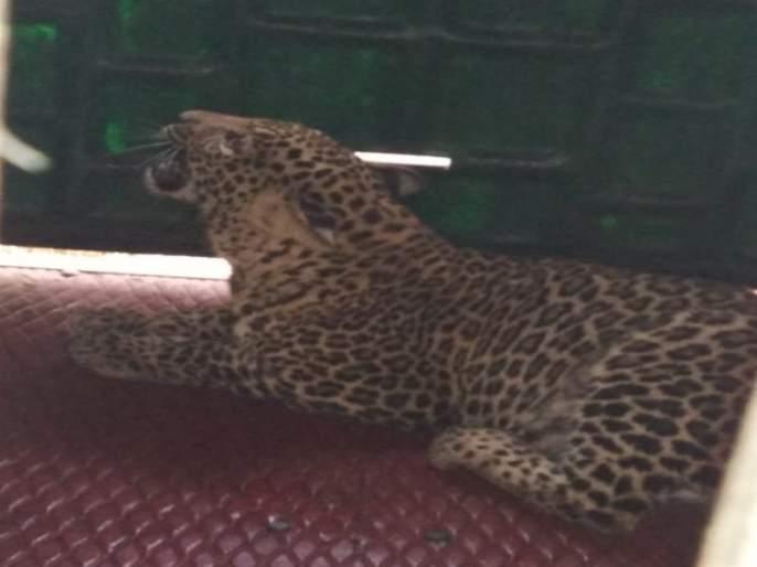 Success in catching a leopard in the Ambegaon taluka | आंबेगाव तालुक्यात चिमुरडीचा जीव घेणाऱ्या बिबट्याला पकडण्यात अखेर यश