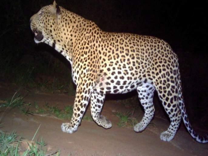 leopard arrested in the nehkarwadi at Junnar taluka | जुन्नर तालुक्यातील नेहरकवाडी येथेधुमाकूळ घालणारा बिबट्या जेरबंद