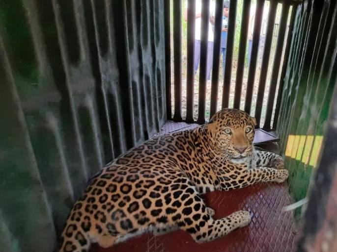 A leopard attacking a youth in Ambegaon taluka has finally been arrested | आंबेगाव तालुक्यात तरुणावर हल्ला करणारा बिबट्या अखेर जेरबंद