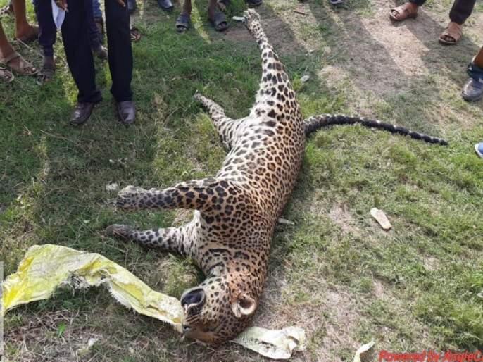 Nandurmadhyameshwar: Two leopards drown in Godavari riverside   नांदुरमध्यमेश्वर : गोदापात्रातील गाळात अडकल्याने पाण्यात बुडून दोन बिबटे मृत्युमुखी