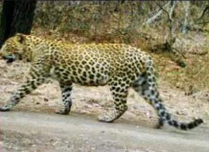 Leopard reappears in Gokul Society! | बिबट्या पुन्हा दिसला गोकूळ सोसायटीतच !