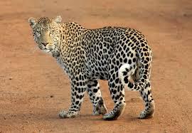 Leopard attacks another woman; The concern of the citizens in Ashti increased | बिबट्याचा आणखी एका महिलेवर हल्ला; आष्टीत तालुक्यातील नागरिकांची चिंता वाढली