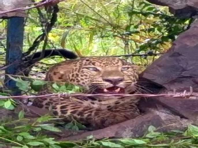 When the leopard gets stuck in a panic ... | भींतीच्या भगदाडमध्ये अडकलेला बिबट्या डरकाळ्या फोडतो तेव्हा...