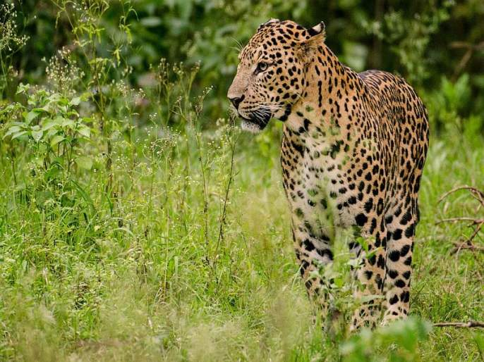 Issue of wild animals entering human habitats raised | शेतकऱ्यांवर अस्मानीबरोबरच वन्य संकटही!