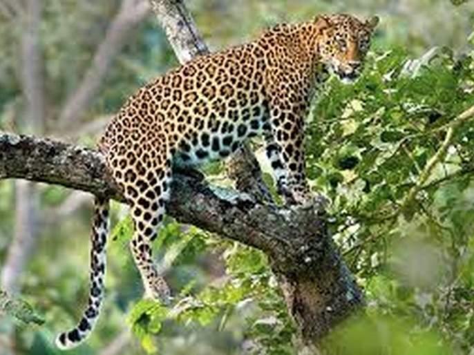 Leopards roam the village in search of water | पाण्याच्या शोधात बिबट्याचा गावालगत संचार