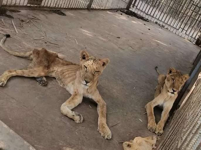 people campaigns for this save lion of sudan | सुदानमधल्या कुपोषित सिंहांचे फोटो व्हायरल, बचावासाठी मोहीम सुरू