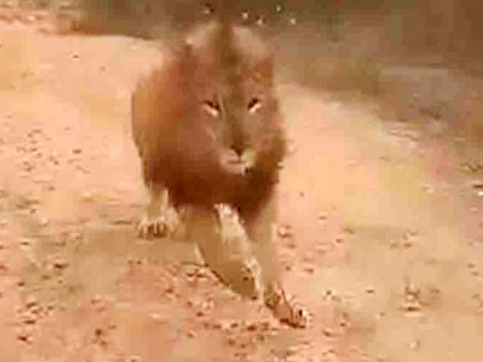 Viral video lion chases tourist vehicle at atal bihari vajpayee zoological park in karnataka | Video : जंगल सफारीसाठी गेलेल्या गाडीचा पाठलाग करू लागला सिंह अन्...