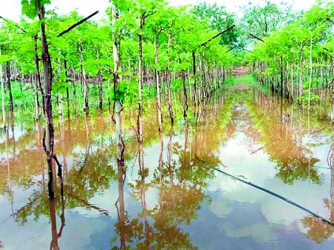 4 thousand hectares of farmland   ६५ हजार हेक्टर शेतीला दणका--अतिवृष्टीमुळे १८ हजार हेक्टरवरील पिके कुजली