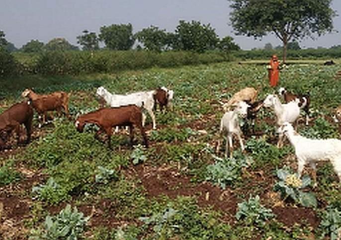 The farm is free for goats | बकऱ्यांसाठी शेत केले मोकळे