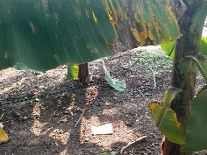 Banana-tomato growers worried about Karpa's disease | करपा रोगाच्या भितीने केळी-टोमॅटो उत्पादक चिंतेत
