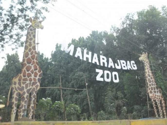 High alert to zoos in Nagpur due to corona | कोरोनामुळे नागपुरातील प्राणीसंग्रहालयांना हाय अलर्ट
