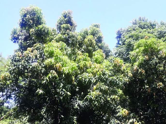 Mango cools the gardener's hopes   थंडीमुळे आंबा बागायतदारांच्या आशा पल्लवित