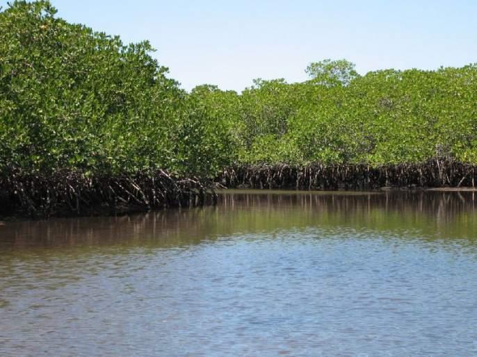 Coastal protection will now be helped as the Tiwari forest grows | तिवरांचे जंगल वाढल्याने किनारपट्टी रक्षणास होणार आता मदत