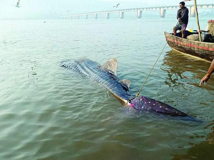 The 'Devamushi' fish was found in Rwanda | रेवदंडा येथे सापडला 'देवमुशी' मासा