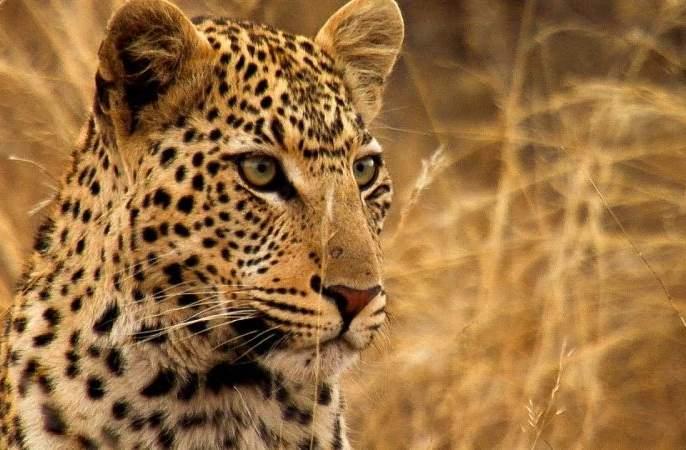 Ignoring the wildlife department, the leopard was killed   वन्यजीव विभागाचे दुर्लक्षच 'त्या' बिबट्याच्या जीवावर बेतले