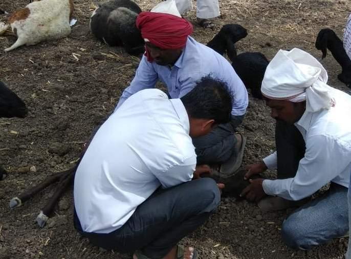 70 percent death of poorer poison in Bhoretak Shivar   भोरटेक शिवारातविषबाधेने ७० मेंढ्यांचा मृत्यू