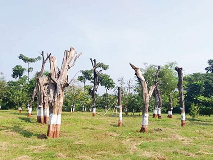 Over 60 percent of the replanted trees in the arena are dead | आरेतील पुनर्रोपित झाडांपैकी 60 टक्क्यांहून अधिक झाडे मृतावस्थेत
