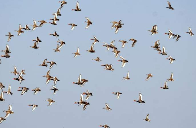 European 'Bar-Headed Guj' birds in Nagpur | युरोपियन 'बार हेडेड गुज' पक्षी नागपुरात