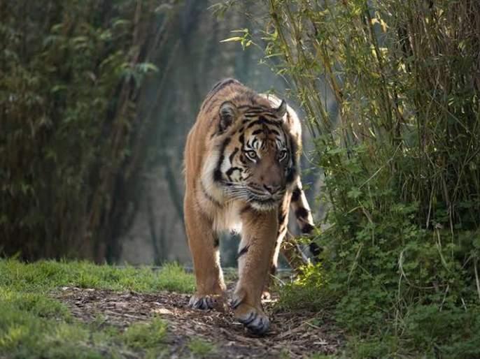 Tigers in Mihan! Trap in camera | मिहानमध्ये वाघच! कॅमेऱ्यात झाला ट्रॅप