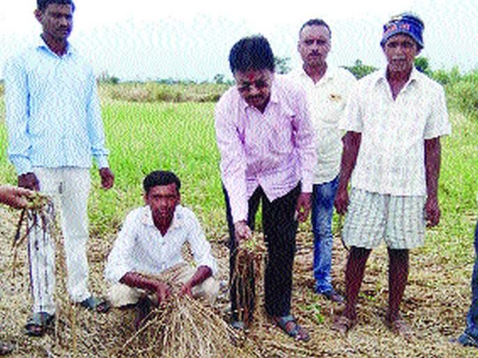 Relief to MLAs, to farmers in compensation   भरपावसात आमदार बांधावर, शेतकऱ्यांना दिला दिलासा