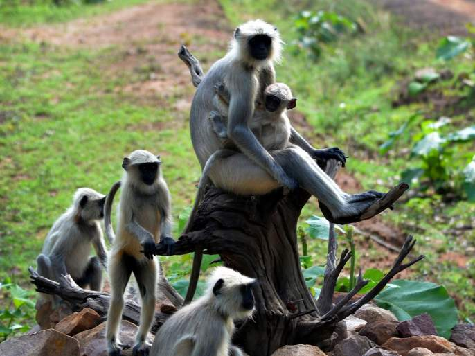 Another female monkey dies in Thane | ठाण्यात आणखी एका मादी वानराचा मृत्यु