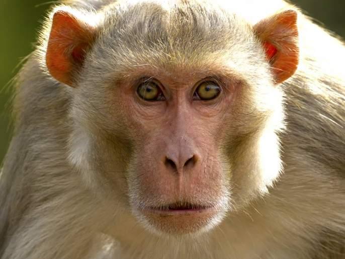 Death of a monkey by lightning hit the moon   चांदवडला विजेच्या धक्क्याने वानराचा मृत्यू