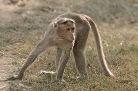 One lakh rupees purse seized by a monkey | माकडाने पळविली एक लाख रुपयांची पर्स