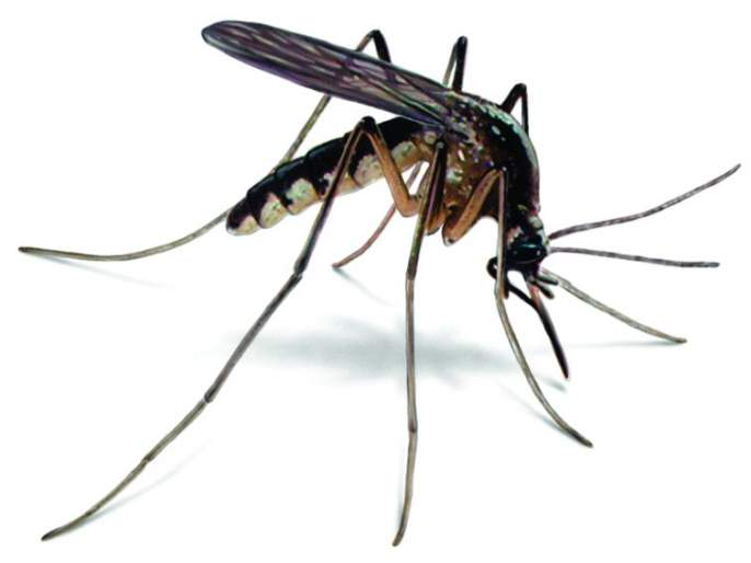 Outbreak of mosquitoes increased in Nagpur city: Municipal sleep deprivation | नागपूर शहरात डासांचा प्रकोप वाढला : मनपा निद्रावस्थेत