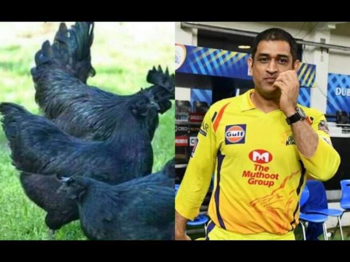 ms Dhoni's Kadaknath farm in danger; Crisis on farmers supplying chicks due to bird flu   धोनीचा कडकनाथ फार्म धोक्यात; बर्ड फ्ल्यूमुळे पिल्ले पुरविणाऱ्या शेतकऱ्यावर संकट