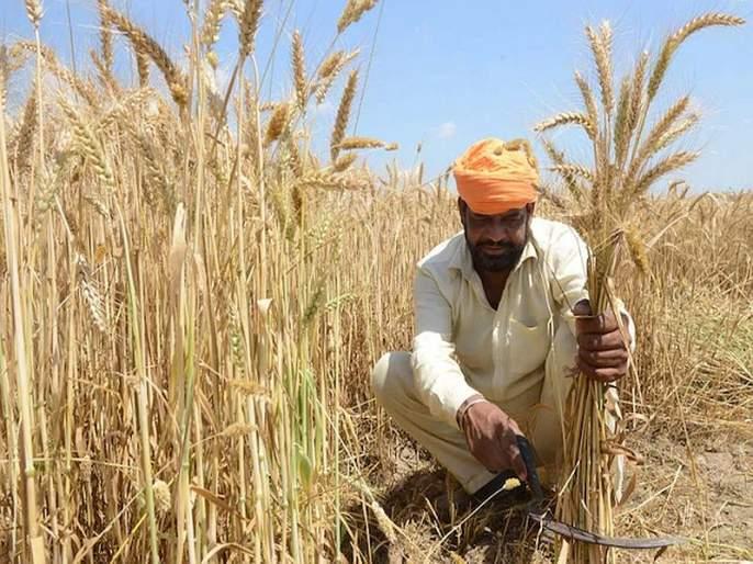 Modi government may announce MSP for Rabi crops, Cabinet meeting today   मोदी सरकार शेतकऱ्यांना देणार 'दिवाळी गिफ्ट'? आज होणार निर्णय