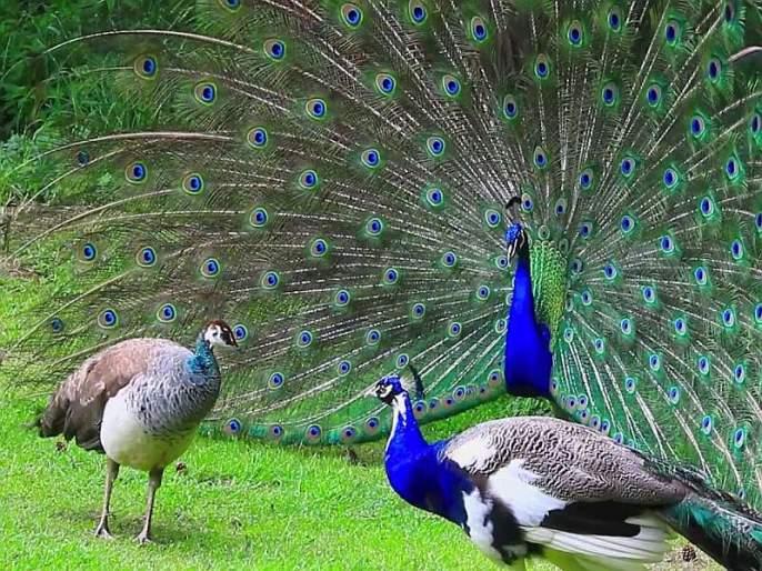 Sparrows, peacocks grew; So the vultures, the eagles fell | थोडी खुशी थोडा गम ; मोर आणि चिमण्या वाढल्या, तर गिधाडे आणि गरुड घटले