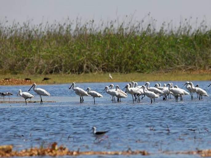 nandur madhmeshwar wildlife sanctuary likely to be included in ramsar list   रामसरच्या यादीत समाविष्ट होणार राज्यातील पहिले अभयारण्य