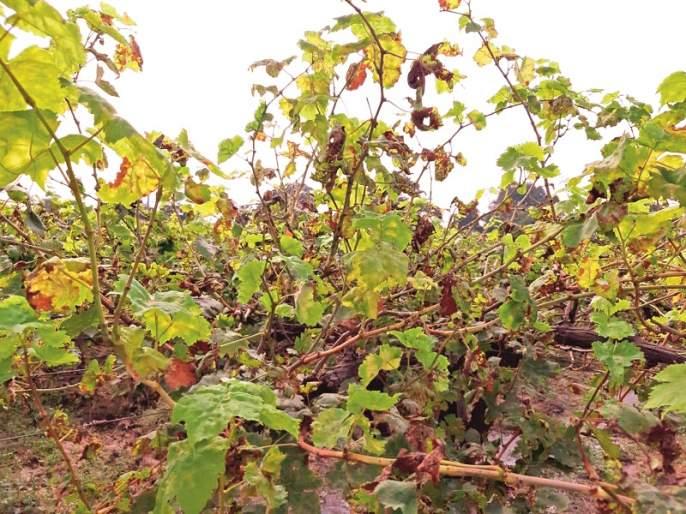 Claims, grape growers in crisis with Karpa's disease   दावण्या, करपा रोगाने द्राक्ष उत्पादक संकटात