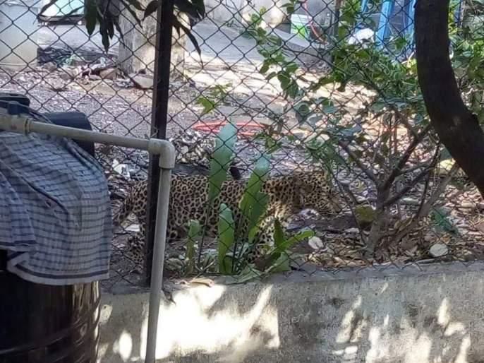Leopard enters in nashiks residential area forest department trying to capture him | VIDEO: नाशकात बिबट्याला पकडण्याचा थरार सुरू; बिबट्याच्या हल्ल्यातवन क्षेत्रपाल जखमी