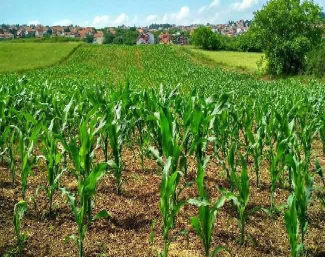 expected record production of rabi food grains including wheat in current crop year agriculture minister | देशात यंदा गहूसह इतर रबी पिकांच्या रेकॉर्ड ब्रेक उत्पादनाची आशा: केंद्रीय कृषी मंत्री