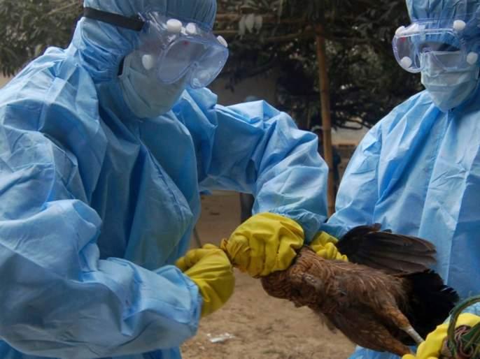 bird flu 238 birds died in Maharashtra today | धोक्याची घंटा! महाराष्ट्रात आज एका दिवसात २३८ पक्षी दगावले; आतापर्यंत २,०९६ पक्ष्यांचा मृत्यू